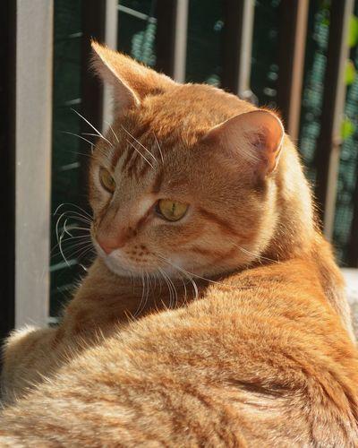 Pets One Animal Domestic Animals Mammal Animal Themes Domestic Cat Feline Close-up Cats Of EyeEm Relaxing Cat Cats Catsofinstagram Catofeyem Catoftheday Catoftheweek Catsoftheword Ginger Ginger Cat Gingercat