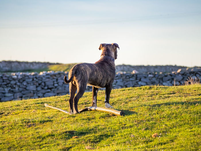 Full length of a dog standing on field
