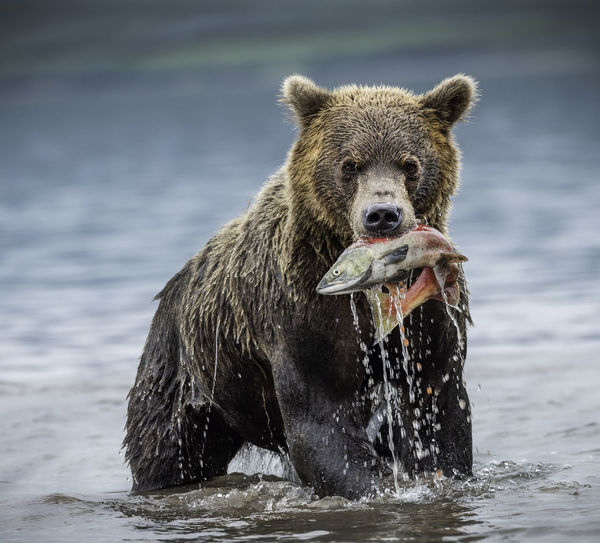 Portrait of bear carrying fish in mouth on lake
