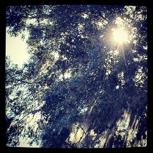 Sunlight through the Spanish moss Tree Spanishmoss Florida Sun Light Fleming Island Fl Branches And Sky Low Angle View Beauty In Nature Branch Nature The 00 Mission