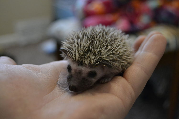 Close-Up Of Hand Holding Hedgehog At Home