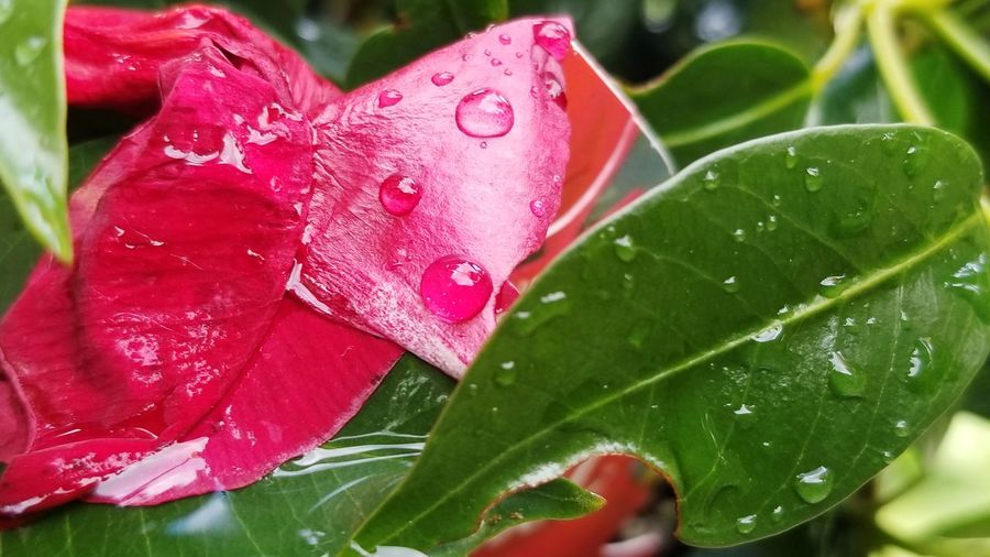 Water Leaf Red