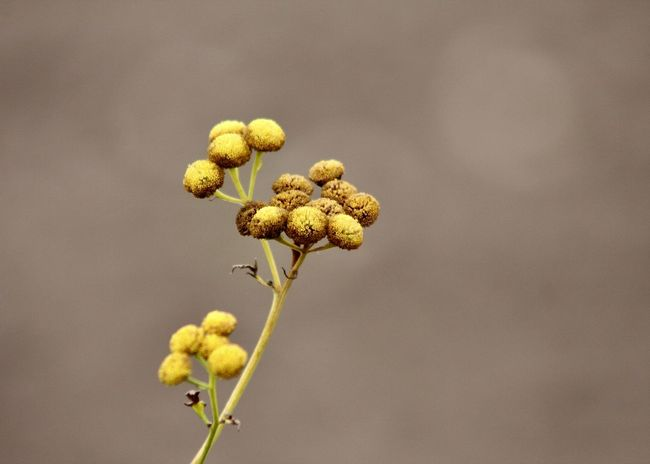 """a yellow Tansy Flower with flower heads in a """"button-like"""" shape against abstract brown beige background Autumn Button Field Wildflower Abstract Backgrounds Backgrounds Beauty In Nature Buttons Close-up Day Environment Fine Art Flora Flower Fragility Freshness Growth Minmalism Nature Outdoors Plant Simplicity Tansy Wild Yellow"""