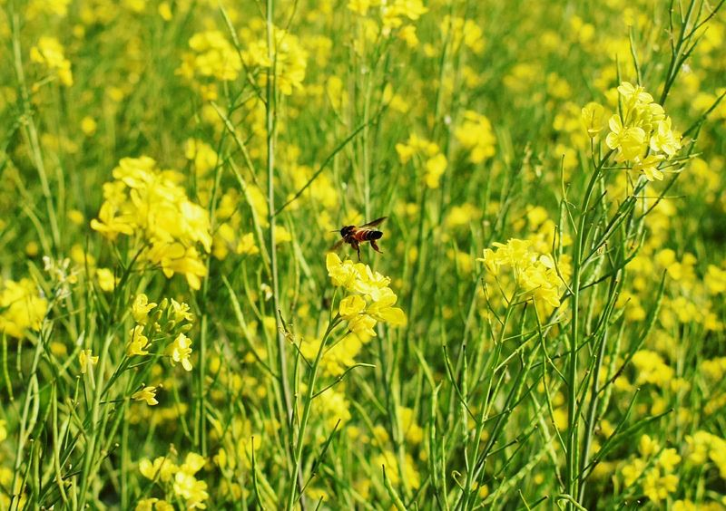 Scenics Beauty In Nature Nature_collection Nikon D5500 Bee 🐝 Mustard Plant Mustard Field Morning Light Sunlight ☀ Bees And Flowers Collecting Pollen Small Creatures Yellow Flower Wintertime Green Leaves
