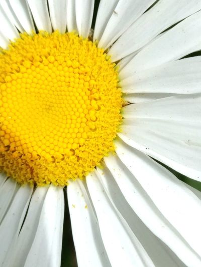 Daisy Close Up Flower Yellow Petal Freshness Nature Close-up Plant No People Beauty In Nature Pollination