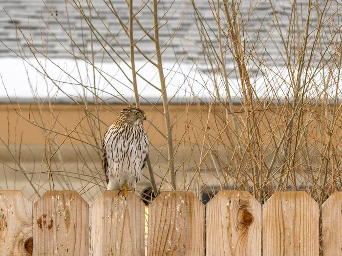 Young coopers hawk perching on a fence close up photograph.