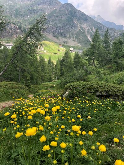 Fiori Flower Flowering Plant Plant Yellow Beauty In Nature Growth Field Freshness Mountain Nature Tranquility Fragility Tranquil Scene Vulnerability  No People