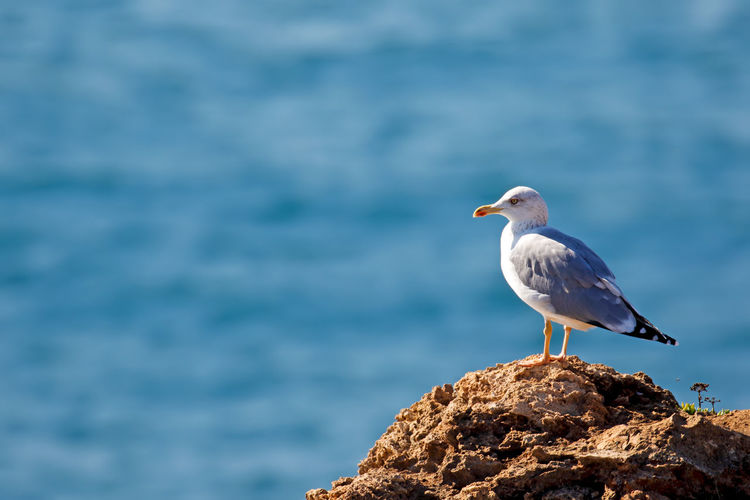 Seagull Perching On Rock Against Sea