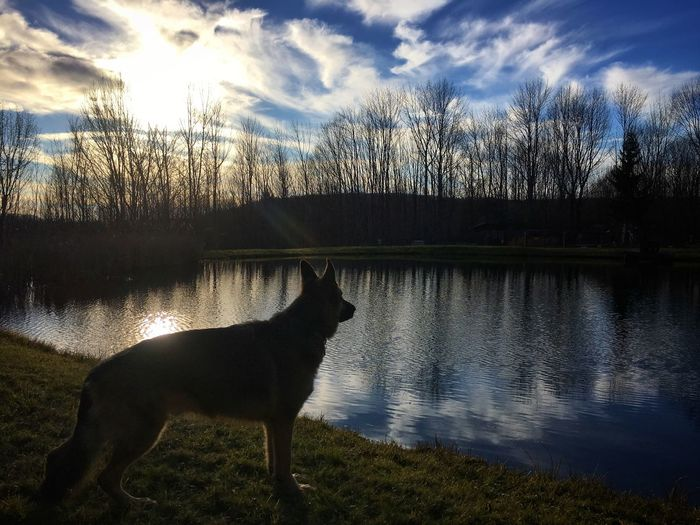Reflection of dog in lake
