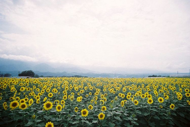 Sunflower field against cloudy sky