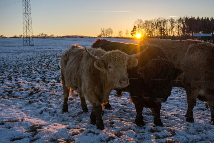 Sunset Domestic Animals Winter Animal Themes Snow Nature Cold Temperature Sky Beauty In Nature Standing No People Mammal Livestock Scenics Landscape Outdoors Water Day Austria