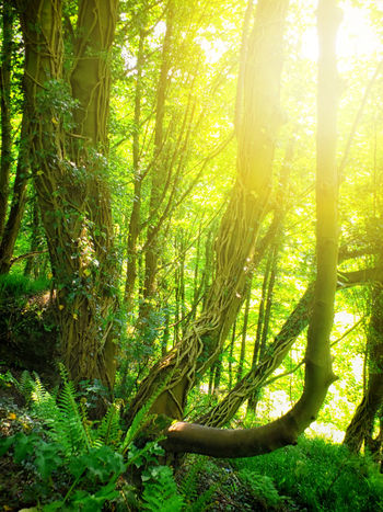 sunlight and woodland Morning Sunlight Beauty In Nature Day Environment Foliage Forest Green Color Growth Land Landscape Lush Foliage Nature No People Non-urban Scene Outdoors Plant Rainforest Sunlight Tranquility Tree Tree Trunk Trunk WoodLand