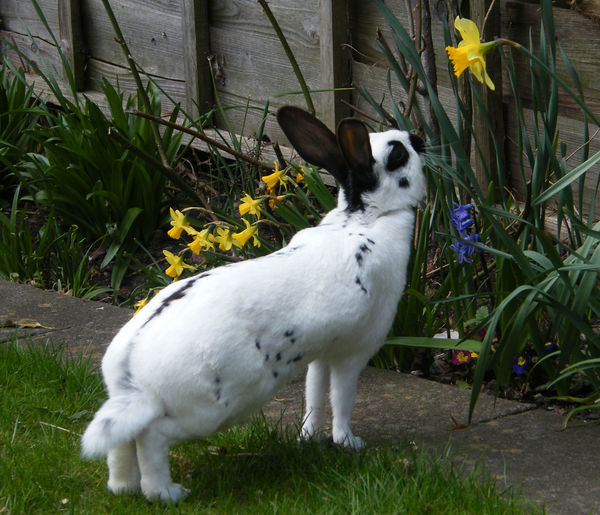 Animal Themes Black And White Rabbit Day Domestic Animals Field Grass Growth Mammal Nature No People Old English Rabbit One Animal Outdoors Pets Plant Rabbit Rabbit And Daffodil White Rabbit