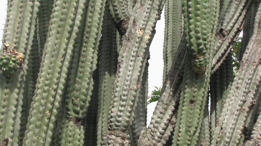 Cactus Cactusporn Green Color Nature Organos Organos Tree Plant Prickly Pear Cactus