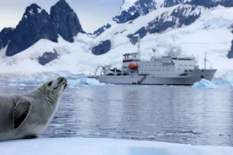 Seal in front of cruise ship, boat, Antarctic Peninsula, Antarctica Antarctic Antarctica Cruise Ship Expedition Ice Travel Wildlife & Nature Adventure Animal Arctic Boat Cold Crabeater Crabeater Seal Cruise Iceberg Landscape Mammal Mountain Ocean Sea Seal Seals Ship Tourism