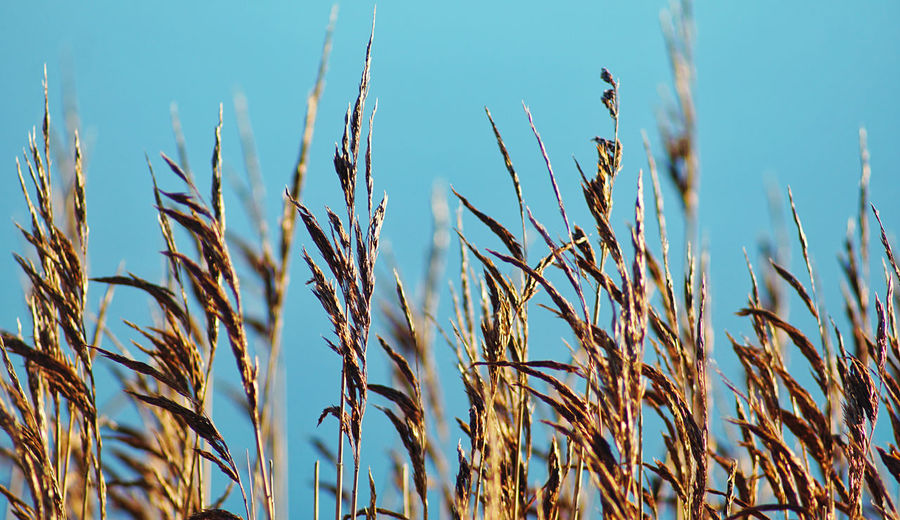 Close-up of stalks in field against clear sky