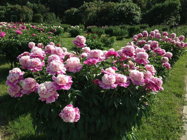 Flowers Kokoflowers пион цветы