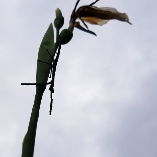 Stick Bug Backgrounds Silhouette Insect Photography Insect