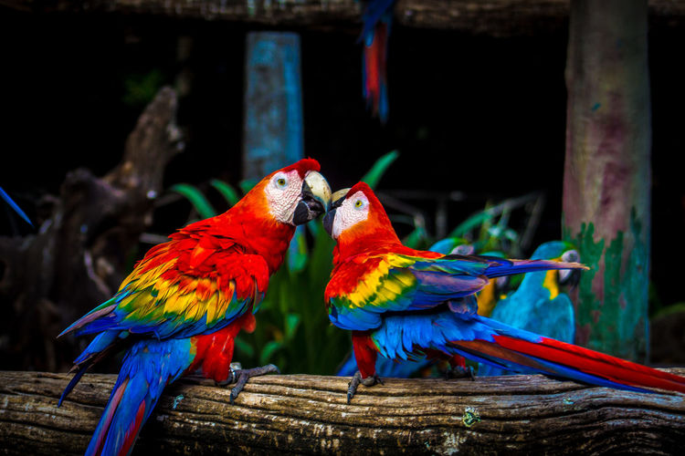 Close-up of scarlet macaws perching on wood