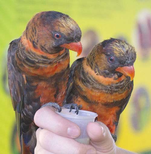 Close-up of lorikeets on cropped hand