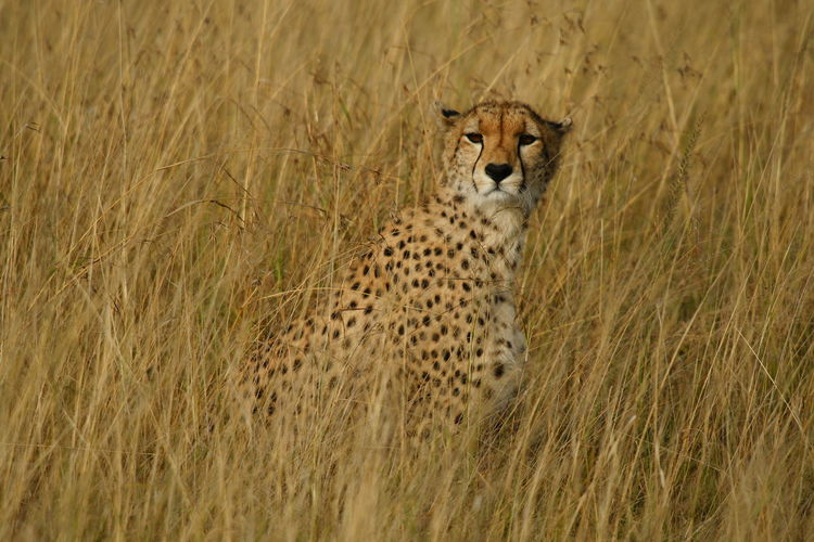 Portrait Of Cheetah Sitting On Field