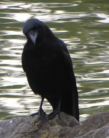 Good Evening Everyone !  Crow For My Friends That Connect Simple Beauty Autumn🍁🍁🍁 Close-up For My Eyeem Friends Beauty On A Cloudy Day Naturelovers Animals In The Wild Animal Wildlife Crow At The Water Crow On Stones In Water Focus On Foreground Raven - Bird CrowPose Crowlovers Guten Abend allerseits😚