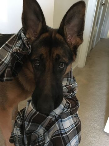 Are those pants yours? Domestic Animals Dog Pets German Shepherd My Puppy :) Enjoy Life