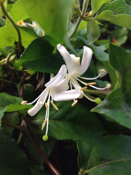 Honeysuckle...really sweet smell! Flower_Collection Flowerporn Eye Em Best Shots -Flowers Nature_collection