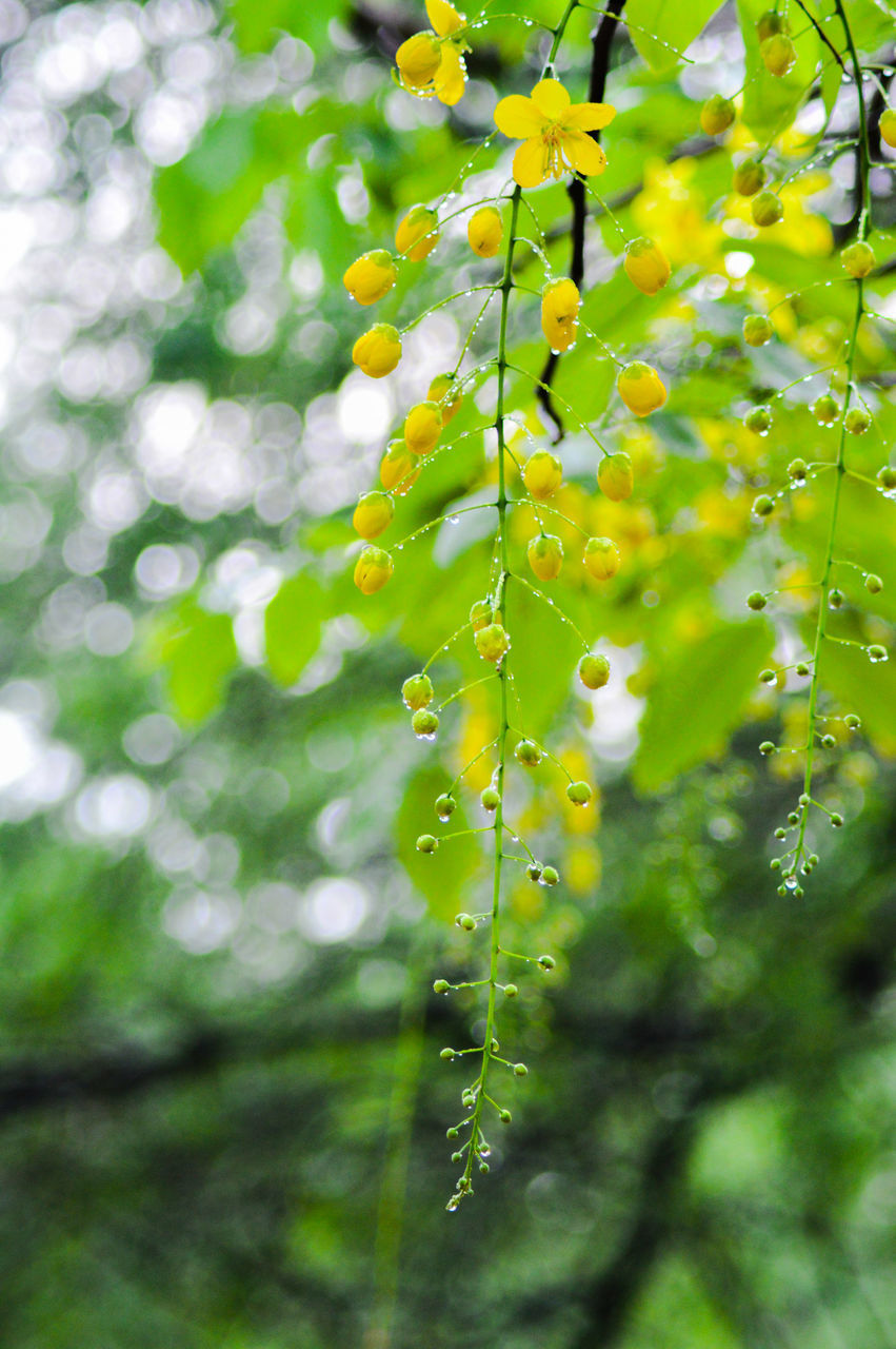 plant, growth, beauty in nature, close-up, freshness, green color, nature, fragility, drop, tree, no people, flower, day, vulnerability, water, wet, selective focus, flowering plant, focus on foreground, outdoors, rain, rainy season, raindrop, willow tree, dew