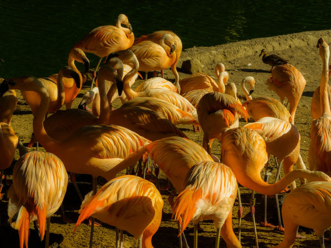 Flamingo Pink Pink Flamingo Pink Flamingos Animal Animal Themes Animal Wildlife Animals In The Wild Beauty In Nature Bird Birds Day Flamingo Flock Of Birds Group Of Animals High Angle View Lake Land Large Group Of Animals Nature No People Outdoors Sunlight Vertebrate Water