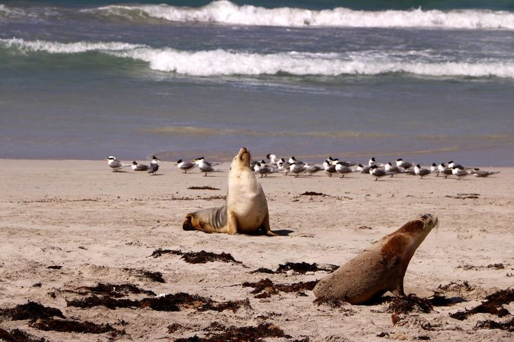Sea lions relax on the beach of the unspoiled coastline at Seal Bay on Kangaroo Island, South Australia Water Animal Wildlife Animals In The Wild Animal Themes Animal Sea Beach Vertebrate Group Of Animals Land Nature Large Group Of Animals Bird No People Motion Mammal Wave Day Seal - Animal Marine Seagull Sea Lions Coast Australia Kangaroo Island