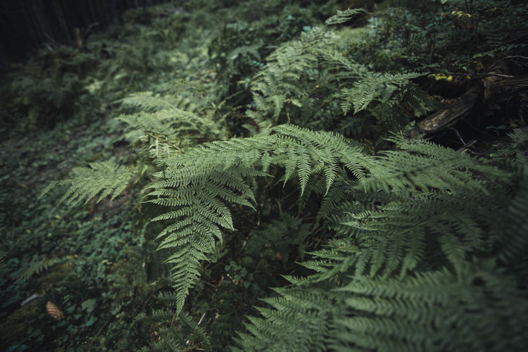 Green Plants WoodLand Beauty In Nature Close-up Coniferous Tree Day Desaturated Fern Fern Ferns Foliage Forest Green Color Growth High Angle View Land Leaf Nature No People Outdoors Plant Plant Part Tranquility Tree