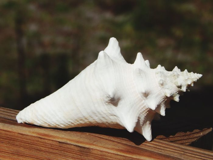 Close-up Wood - Material White Wooden Focus On Foreground No People Shell Shelling EyeEm Check This Out Fresh On Eyeem  This Week On Eyeem EyeEm Best Shots Beauty In Nature EyeEm Gallery Eyeemphotography EyeEm Nature Lover EyeEm Best Shots - Nature EyeEmBestPics EyeemShot EyeemPhotos