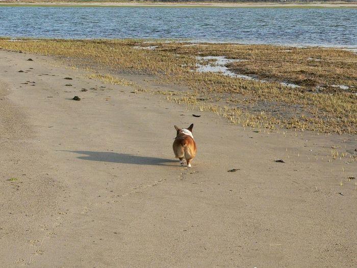 One Animal Animal Themes Sea Beach Sand No People Dog Running On The Beach Dog Running Pembroke Corgi Corgi Pembroke Welsh Corgi Welsh Pembroke Corgi Welsh Corgi Pembroke Welsh Corgi Dog On The Beach Dog On Sand Water Pet Portraits