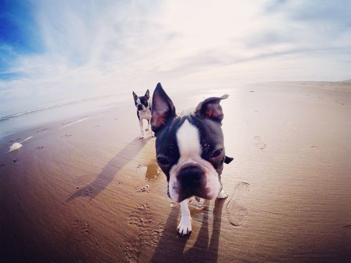 Fish-eye lens view of bulldogs walking at beach
