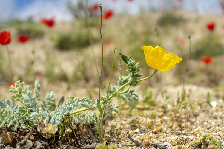 Glaucium flavum (yellow hornpoppy, sea-poppy or yellow horned poppy) is a summer flowering plant in the Papaveraceae family. Flower Plant Poisonous Toxic Papaveraceae Glaucium Flavum Yellow Horned Poppy Sea-poppy Poppy