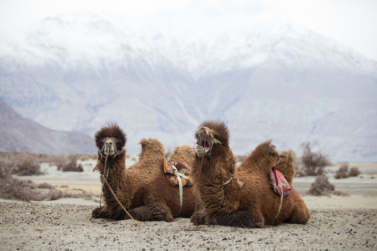 Camels relaxing on land