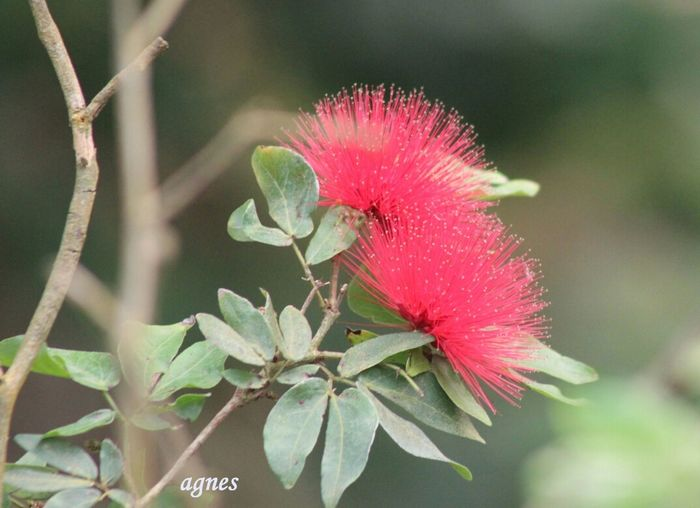Floralperfection ForTheLoveOfPhotography Flowerporn MyExoticFlower#bottlebrush