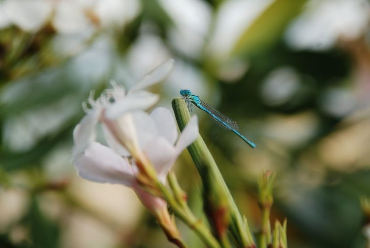 Dragonfly Blue Insect Plant Flower Flowering Plant Close-up Beauty In Nature Freshness Nature No People Animal Fragility Animal Wildlife Focus On Foreground Animal Themes Selective Focus Growth One Animal White Color Day Outdoors