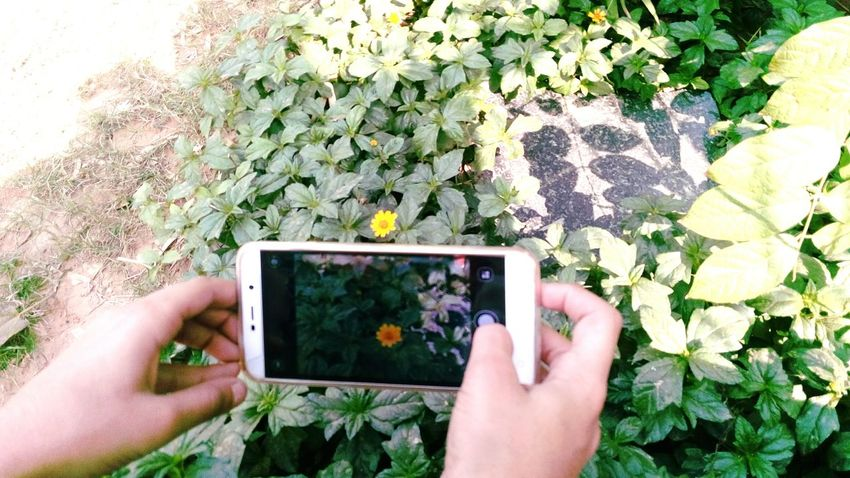 Clicking A Picture Flower Leaves Hands Human And Technology Mobile Camera Shoot Mobile Photography SSClickpix SSClicks SSClickPics