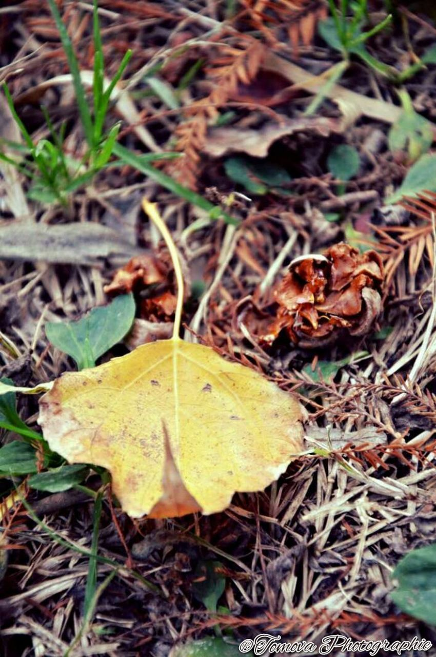 leaf, dry, autumn, change, yellow, nature, high angle view, close-up, outdoors, leaves, maple leaf, no people, maple, day