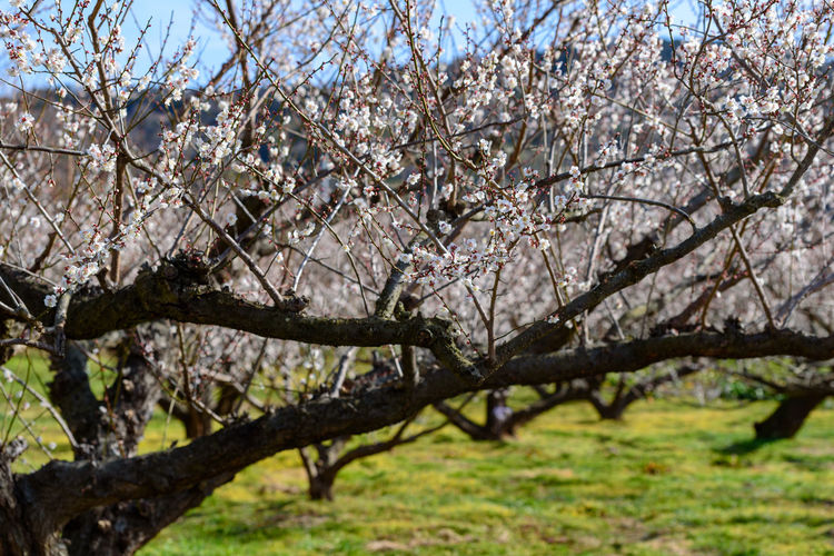 Tree Plant Branch Springtime Blossom Beauty In Nature Flower Flowering Plant Nature Growth Day No People Freshness Outdoors Fragility Fruit Tree Agriculture Orchard Focus On Foreground Sky Cherry Tree Cherry Blossom