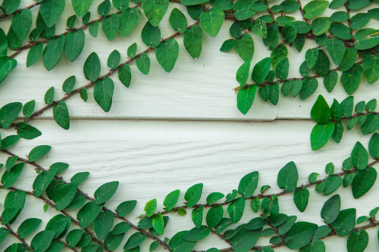 Built Structure Close-up Creeper Plant Day Directly Above Freshness Green Color Growth Ivy Leaf Nature No People Outdoors Pattern Plant Plant Part Wall - Building Feature White Color Wood - Material