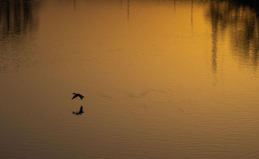Silhouette birds flying over lake