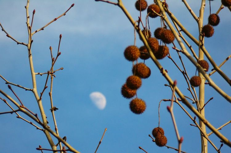 Daytime Moon Lookingup Blue And Gold How's The Weather Today? California Sunshine Hugging A Tree Shoot The Moon  Fresh 3