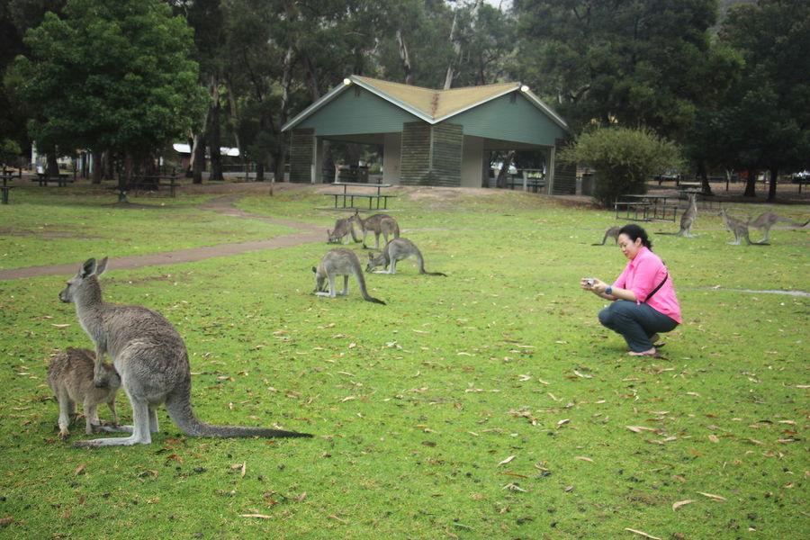 Kangaroos at the Halls Gap town's park. Australia Be. Ready. Grampian National Park The Grampians Travel Victoria, Australia Australia & Travel Halls Gap Kangaroos Travel Destinations