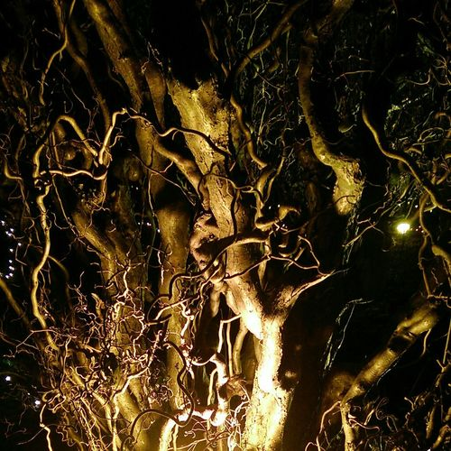 Arbutus Trees at the Lightshow. Light And Shadow, Darkness And Light
