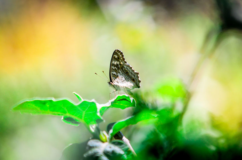 Animal Themes Animals In The Wild Beauty In Nature Butterfly Butterfly - Insect Close-up Day Focus On Foreground Freshness Green Green Color Growth Insect Leaf Nature No People One Animal Perching Plant Selective Focus Springtime Symbiotic Relationship Tranquility Wildlife Zoology