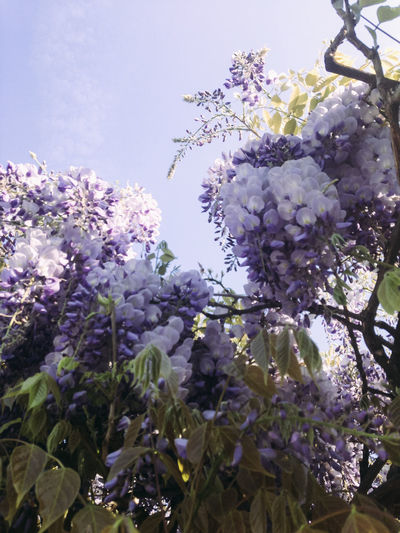 Low angle view of purple flowers on tree