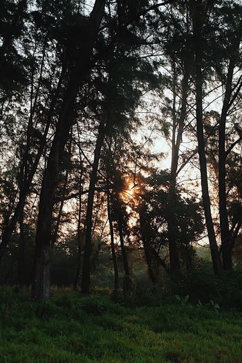 🌾 Forest Nature WoodLand Tree Trunk Scenics Tranquil Scene Outdoors Sunlight Beauty In Nature Tranquility No People Landscape Sunset Day Growth Tree Area Grass Fog Sky First Eyeem Photo